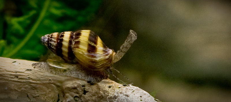 Picture of a Assassin Snail (Anentome helena).