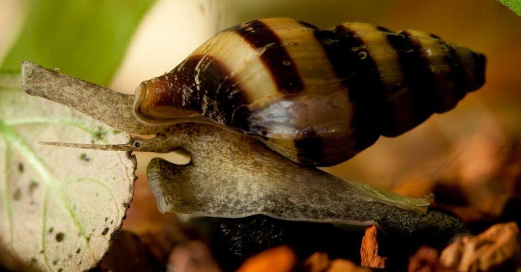 Assassin Snail in water