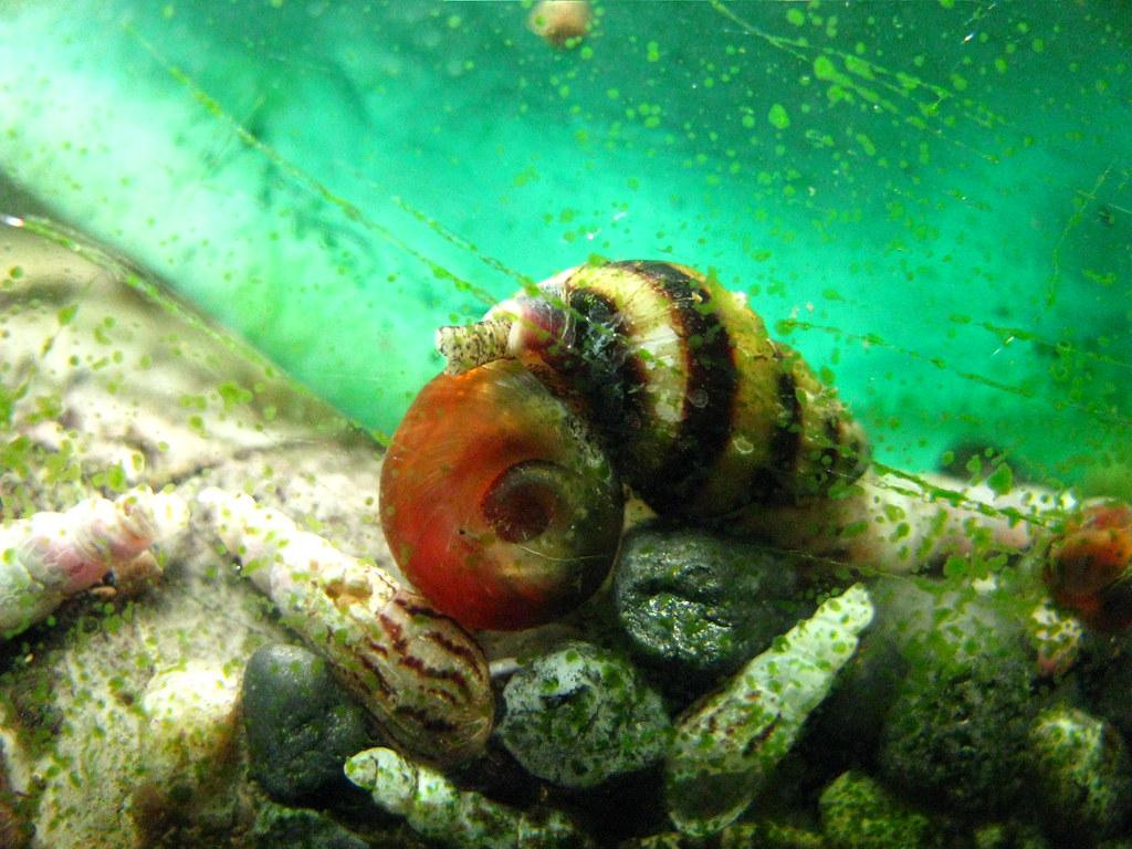 Assassin Snail eating